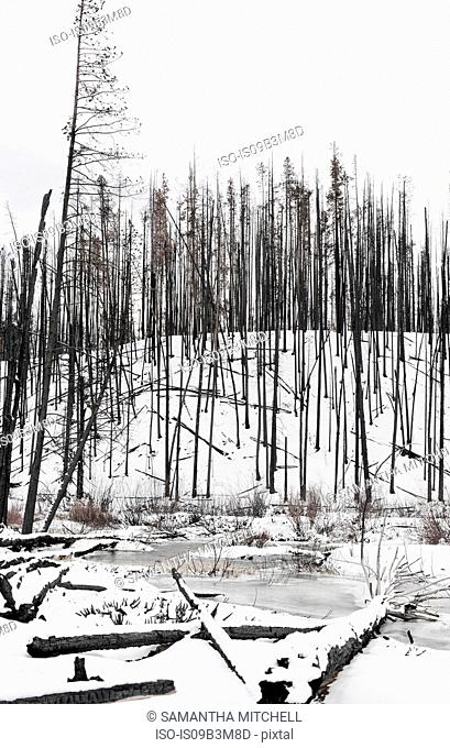 Bare burnt trees on snow covered hill in Sawtooth National Forest, Idaho