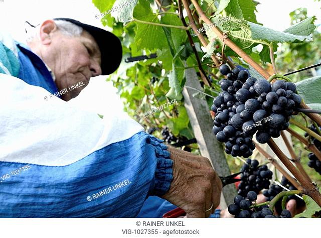 GERMANY : Grape harvest in the Ahr valley. - Ahrweiler, Germany, 18/09/2008
