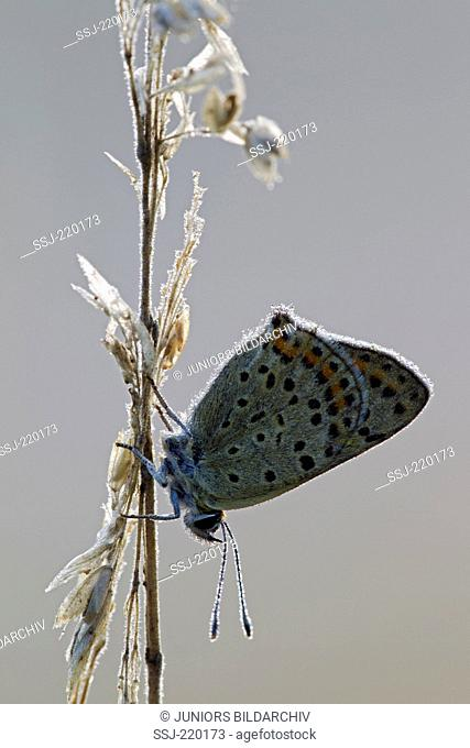 Sooty Copper (Lycaena tityrus). Male covered in dew. Germany
