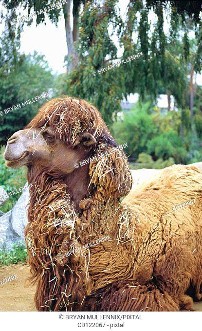 Camel. San Diego Zoo. California. USA