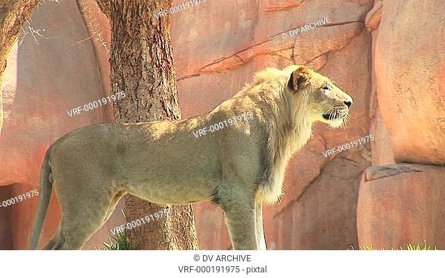 Medium-shot of a lion standing near rocks