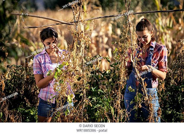 Young Women Adjusts Tomato Plants, Croatia, Slavonia, Europe