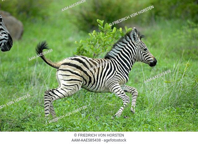 Young zebra foal running around in green grass of spring in Kruger National Park, South Africa