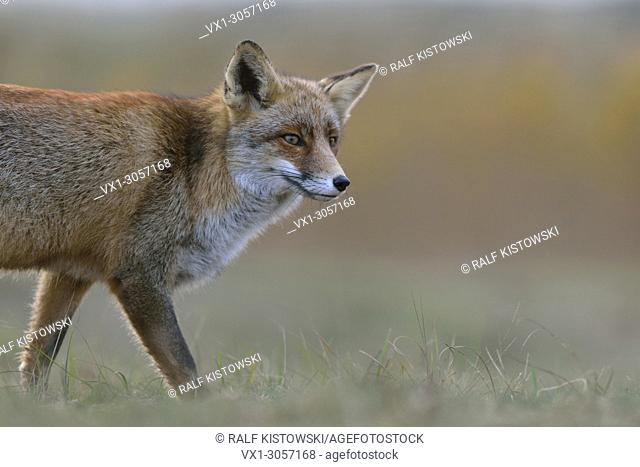Red Fox / Rotfuchs ( Vulpes vulpes ) watching curious, soft light, close up, half body, wildlife, Europe