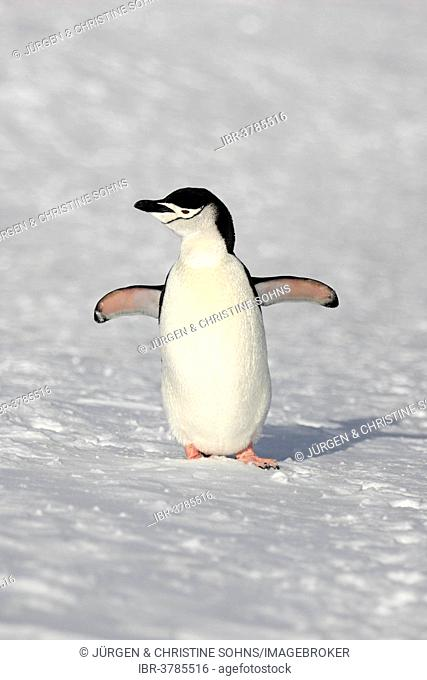 Chinstrap Penguin (Pygoscelis antarctica), adult, spreading wings, Brown Bluff, Antarctica