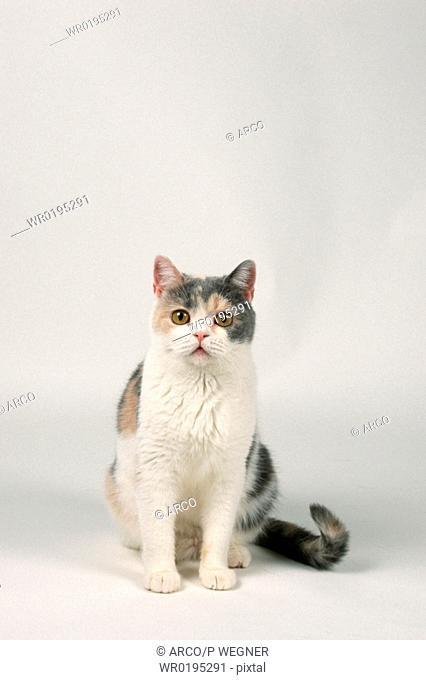 British, Shorthair, Cat