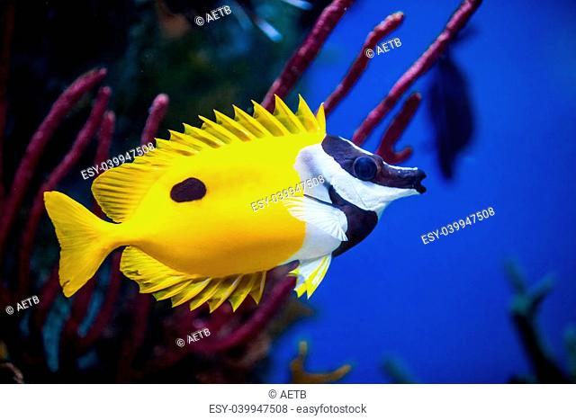 Onespot Foxface Rabbitfish Closeup in a Big Saltwater Aquarium