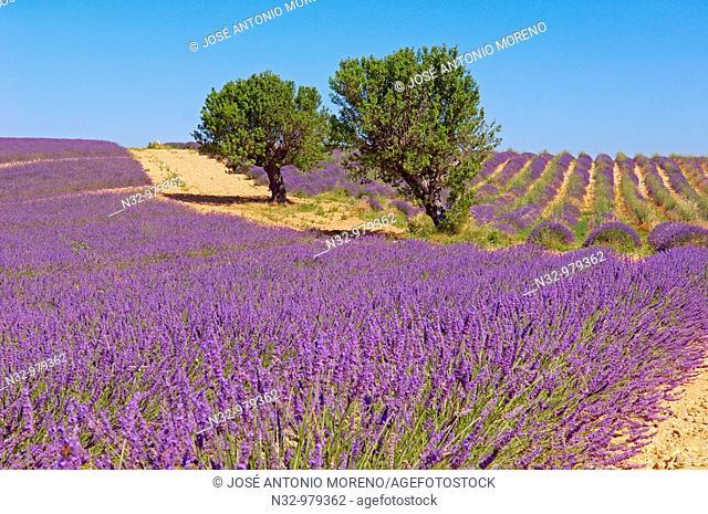 Lavender field at Plateau de Valensole. Alpes-de-Haute-Provence, France