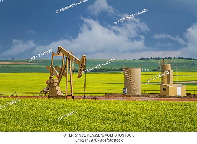 An oil pumper in a yellow blooming canola field in the Bakken shale oild field near Willison, North Dakota, USA