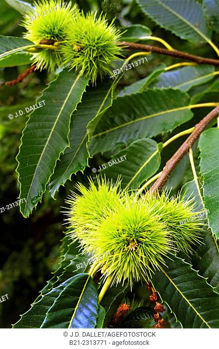 Chestnuts in July near Mourjou, Cantal, Auvergne, France