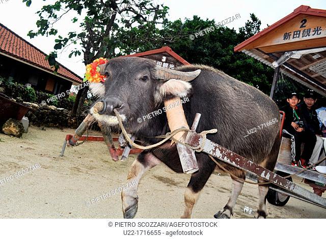 Taketomi Island, Okinawa, Japan: buffalo pulling a cart with tourists