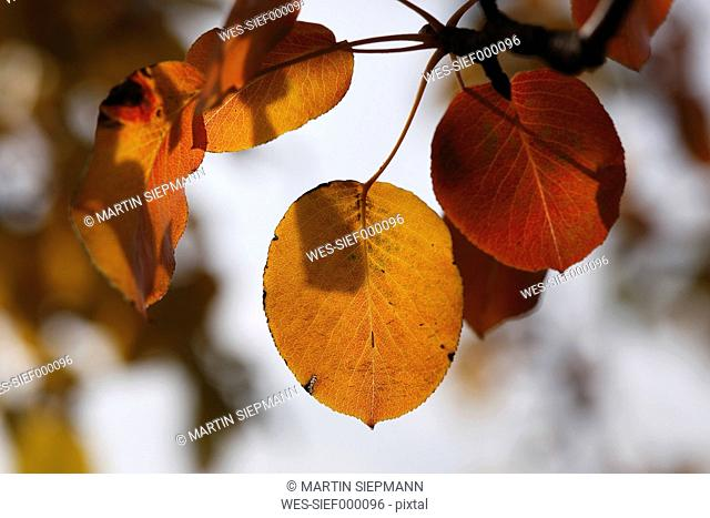 Autumn leaves of European pear lat. Pyrus communis, close-up