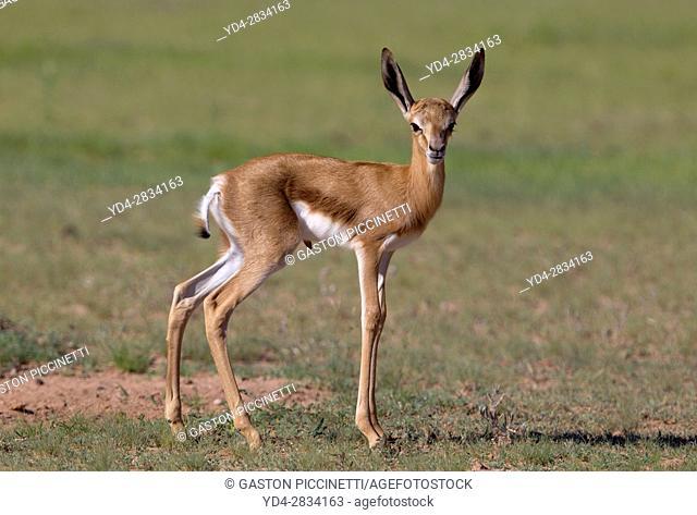 Springbok (Antidorcas marsupialis) -lamb, Kgalagadi Transfrontier Park in rainy season, Kalhari Desert, South Africa/Botswana