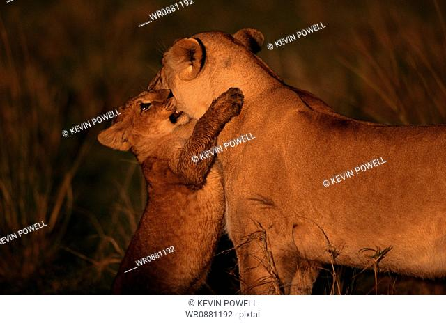 Lioness playing with her cub