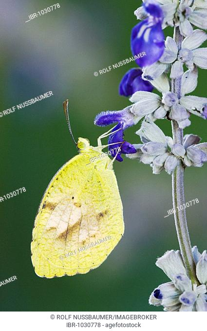 Sleepy Orange (Eurema nicippe), adult on Mealy sage (Salvia farinacea), Uvalde County, Hill Country, Central Texas, USA