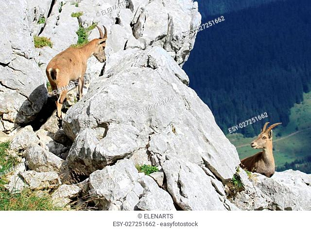 Two females alpine ibex (capra ibex) or steinbock standing on a rock in Alps mountain, France