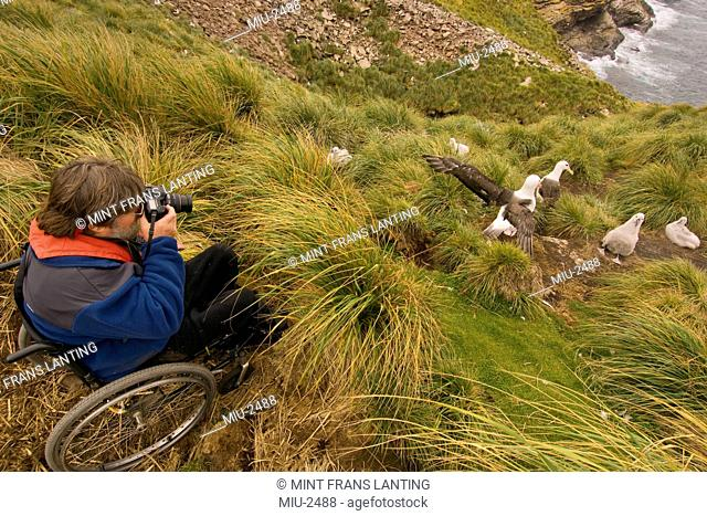 Handicapped tourist at edge of black-browed albatross colony, Falkland Islands