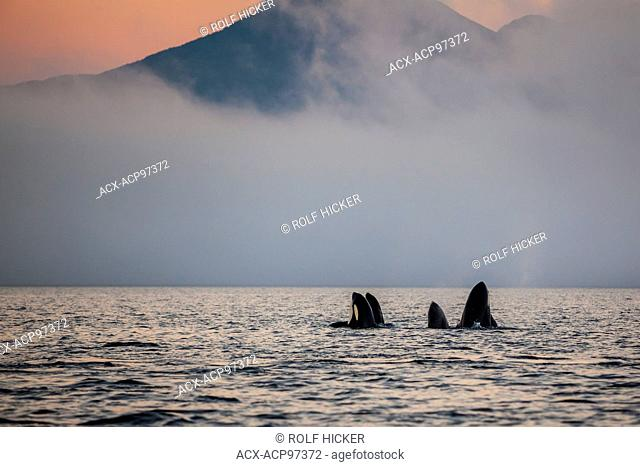 Group of resident killer whales (Orcinus orca) in Johnstone Strait off Vancouver Island, British Columbia, Canada