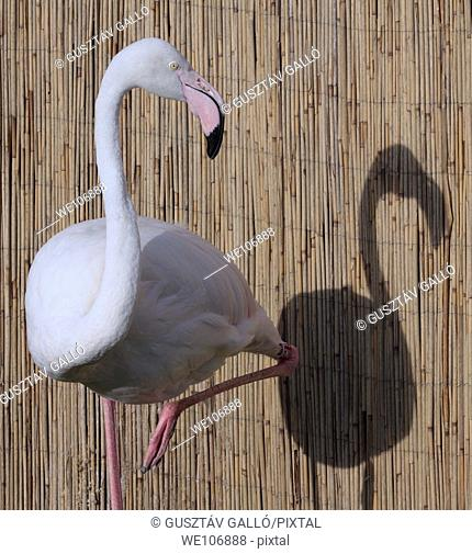 Flamingo and his shadow