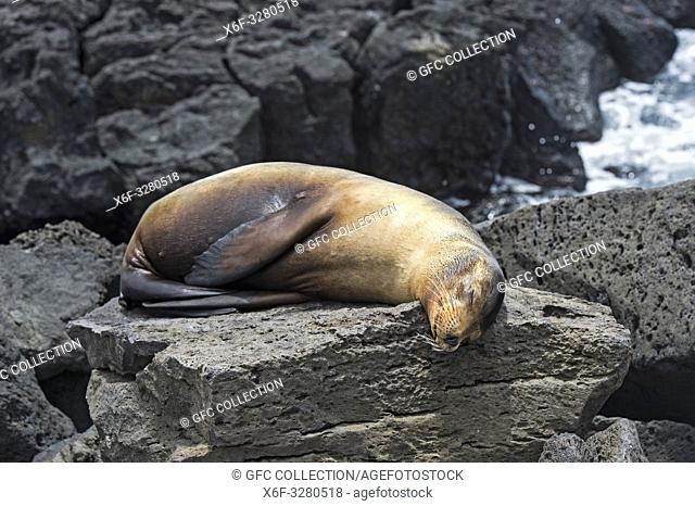 Galapagos Sea Lion (Zalophus wollebaeki), sleeping on lava rocks at the coast, Ear seals family (Otariidae), endemic to Galapagos,Floreana Island