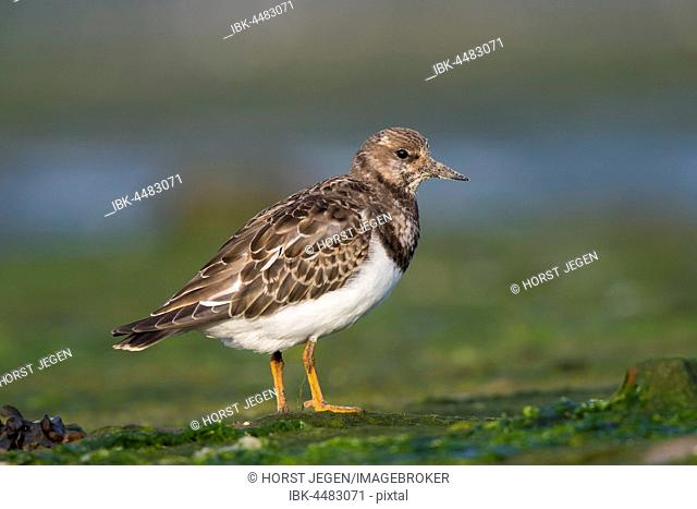 Ruddy Turnstone (Arenaria interpres) on the shore, Texel, Province of North Holland, The Netherlands