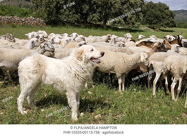 Domestic Dog, livestock guardian dog, guarding mixed sheep and goat flock, Sierra de Segura Mountains, Castilla la Mancha, Spain, may