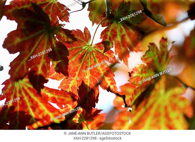 brilliant Autumn colour of changing maple leaves