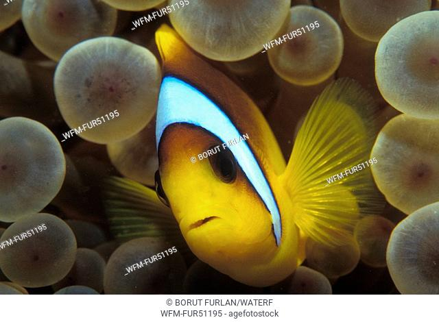 Two-banded Anemonefish, Amphiprion bicinctus, Marsa Alam, Red Sea, Egypt