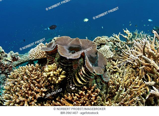 Giant Clam (Tridacna gigas), growning in coral reef with various Acropora Corals (Acropora sp.), Indian Ocean, Embudu, South Malé Atoll, Maldives