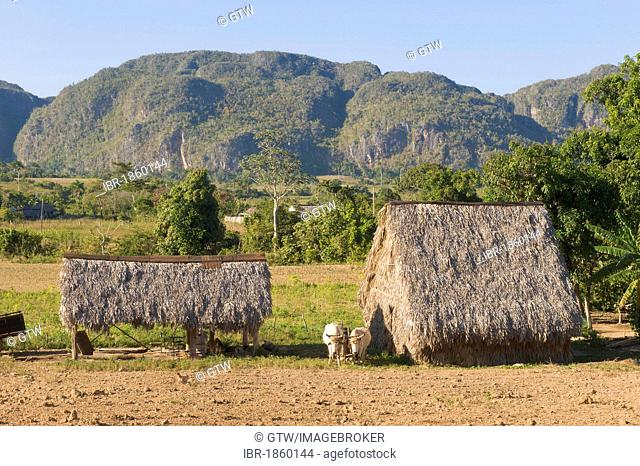Hut for drying tobacco leaves, mogotes, cone karst rocks, Vinales Valley, Unesco World Heritage Site, Pinar del Rio Province, Cuba, Central America