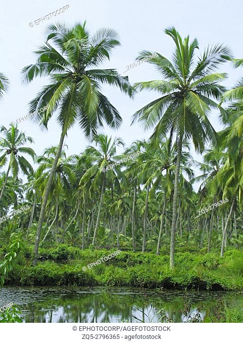 Coconut trees - plantation. Kerala, India