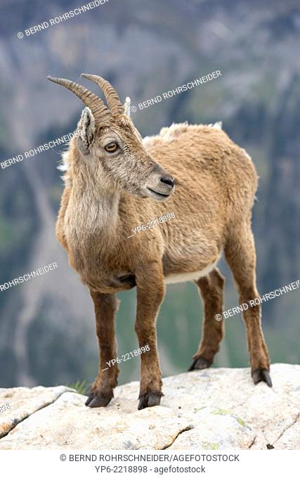 female Alpine Ibex (Capra ibex) standing on rock, Niederhorn, Bernese Oberland, Switzerland