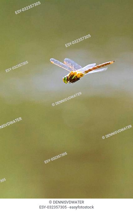 Dragonfly (Odonata), probably in the Hawker (Aeshnidae) family, in flight in the Netherlands