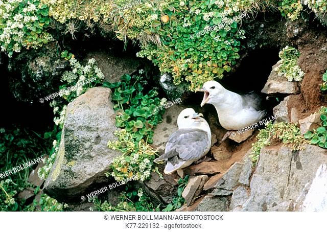 Northern Fulmar (Fulmarus glacialis), displaying couple