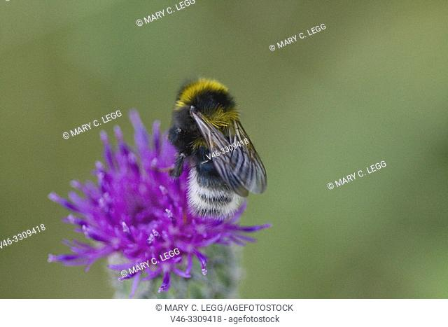 """Bohemian Bumblebee, Bombus bohemicus. A white-tailed cuckoo bee with gold bands. Queen is15â. """"20mm in length. B bohemicus lacks pollen baskets on posterior..."""