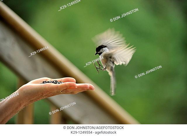 Black capped chickadee Parus atricapillus Coming to human hand for seeds