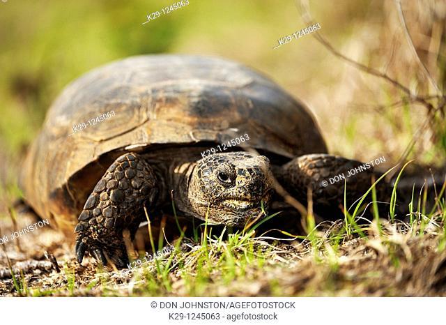American gopher tortoise gopherus polyphemus Feeding