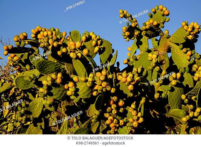 Chumbera, - Figuera de Moro-, Montuiri, Es Pla de mallorca, Majorca, Balearic Islands, Spain