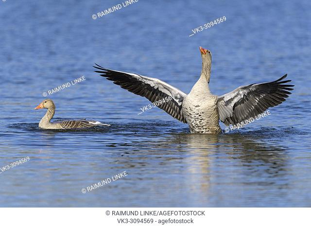 Greylag Goose, Anser anser, in water, beats with wings