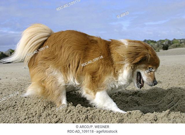 Mixed Breed Dog digging at beach side