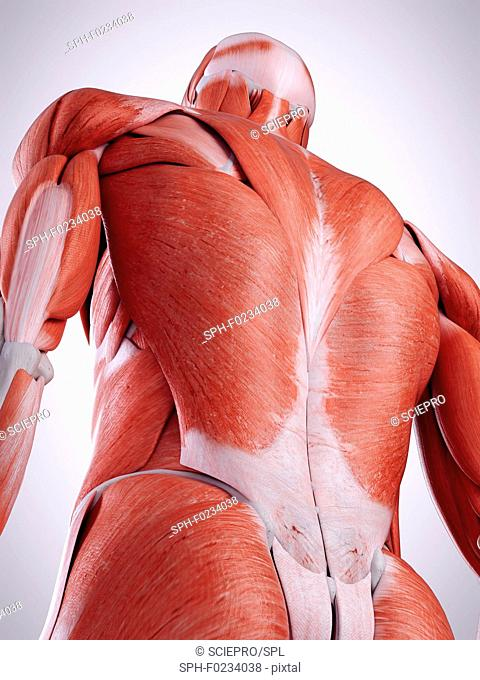Illustration of the back muscles