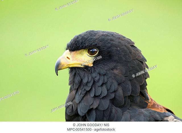 Bateleur Eagle (Terathopius ecaudatus), Hampshire, England, United Kingdom