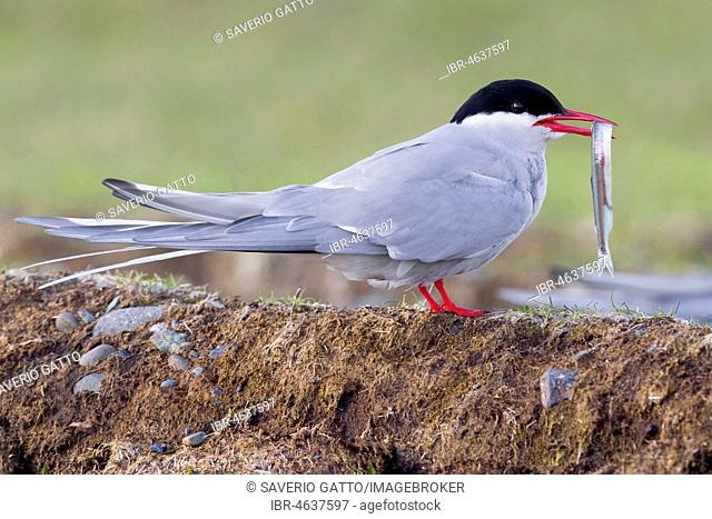 Arctic Tern (Sterna paradisaea), adult standing on the ground with a caught fish, Southern Region, Iceland