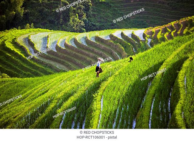High angle view of terraced rice fields, Jinkeng Terraced Field, Guangxi Province, China