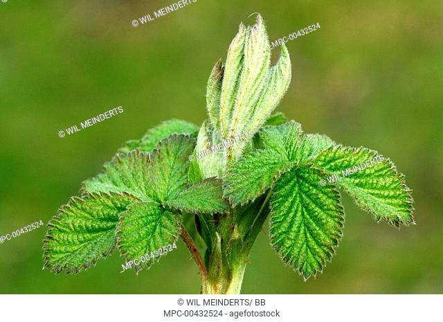 Shrubby Blackberry (Rubus fruticosus) budding, Netherlands