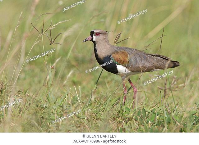 Southern Lapwing (Vanellus chilensis) perched on the ground in Bolivia, South America