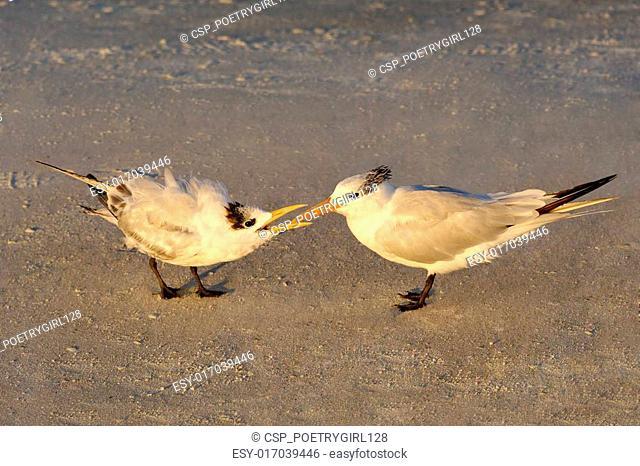 Baby Royal Tern Begging for Food in Morning Light
