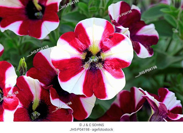 Petunia, (Petunia multiflora), blooming, Ellerstadt, Germany, Europe