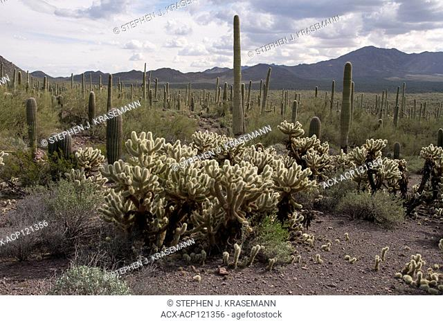 Teddy Bear Cholla (Cylindropuntia bigelovii), notice dropped stems taking root under main cactus, a classic form of reproduction