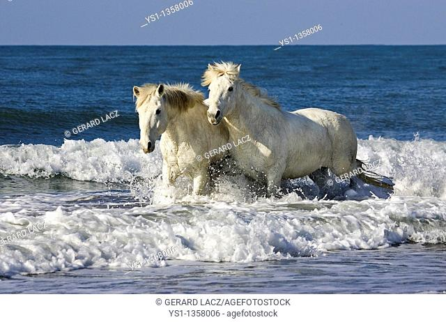 CAMARGUE HORSE, PAIR STANDING ON BEACH, SAINTES MARIE DE LA MER IN THE SOUTH OF FRANCE